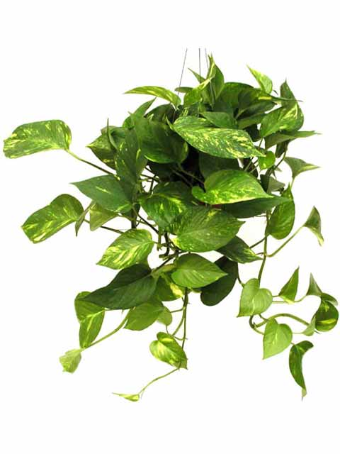 Golden Pothos Plant Care